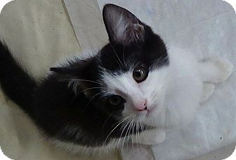 Domestic Shorthair Kitten for adoption in Port Republic, Maryland - Jasper