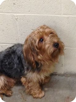 Yorkie, Yorkshire Terrier Dog for adoption in Wanaque, New Jersey - padro