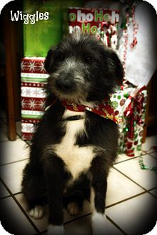 Border Collie Mix Dog for adoption in Cranford, New Jersey - Wiggles