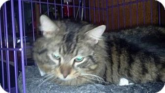 Maine Coon Cat for adoption in Turnersville, New Jersey - Rigsby