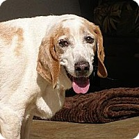 Beagle Dog for adoption in Apple Valley, California - Noah-In a Foster Home