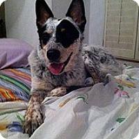 Adopt A Pet :: Paisley-Only $65 adoption fee! - Litchfield Park, AZ