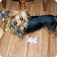 Adopt A Pet :: Yauncy - Goodyear, AZ