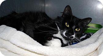 Domestic Mediumhair Cat for adoption in West Warwick, Rhode Island - Evvy