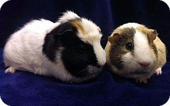 Guinea Pig for adoption in Lowell, Massachusetts - Toby