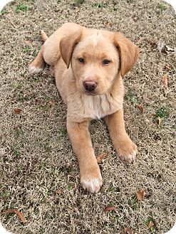 Golden Retriever Mix Puppy for adoption in CHICAGO, Illinois - AMOS and ARCHIE