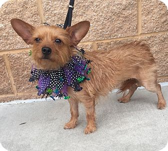 Yorkie, Yorkshire Terrier/Jack Russell Terrier Mix Dog for adoption in Mount Pleasant, South Carolina - Stevie