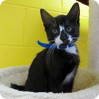 Domestic Shorthair Kitten for adoption in Janesville, Wisconsin - Rocky Road