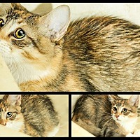 Maine Coon Kitten for adoption in Sunny Isles Beach, Florida - Pandora