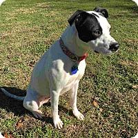 Adopt A Pet :: Sol - Austin, TX