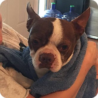 Boston Terrier Dog for adoption in Weatherford, Texas - Rudy
