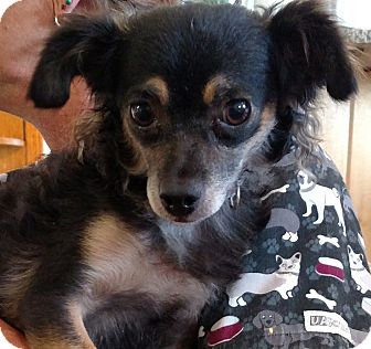 Poodle (Miniature)/Pomeranian Mix Dog for adoption in Divide, Colorado - Marcy