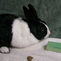 Dutch Mix for adoption in Harrisburg, Pennsylvania - Clarence