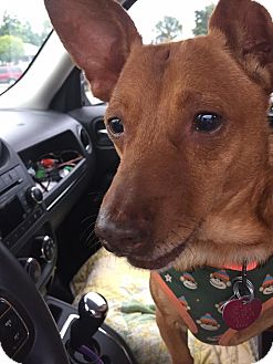 Chihuahua/Pharaoh Hound Mix Dog for adoption in Mount Gretna, Pennsylvania - Rusty Nail