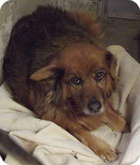 Collie Mix Dog for adoption in Cheboygan, Michigan - Allie