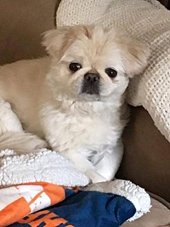 Pekingese Dog for adoption in Georgetown, Colorado - Belle