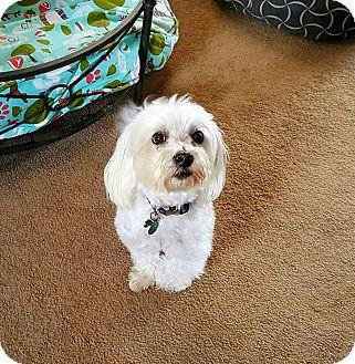 Maltese/Poodle (Miniature) Mix Dog for adoption in Freeport, New York - Kai