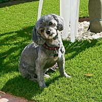 Shih Tzu/Poodle (Toy or Tea Cup) Mix Dog for adoption in Studio City, California - Chloe