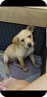 Labrador Retriever Mix Puppy for adoption in West Milford, New Jersey - MISTER-pending