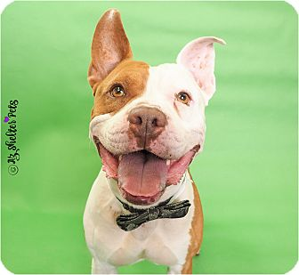 American Pit Bull Terrier/American Staffordshire Terrier Mix Dog for adoption in Phoenix, Arizona - Lot