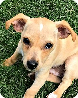 Jack Russell Terrier Mix Puppy for adoption in McKinney, Texas - Mr. Darcy