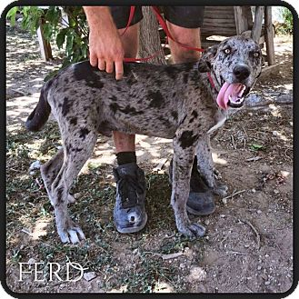 Great Dane Mix Puppy for adoption in DeForest, Wisconsin - Ferd