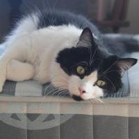 Domestic Longhair/Domestic Shorthair Mix Cat for adoption in Toronto, Ontario - Josie