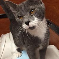 Adopt A Pet :: Bebop - Morganton, NC