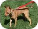 Chihuahua Mix Puppy for adoption in Gilbert, Arizona - Lola