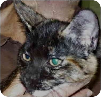 Domestic Shorthair Kitten for adoption in San Clemente, California - ITALIA
