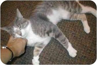 Domestic Shorthair Cat for adoption in Mt. Prospect, Illinois - Tugger