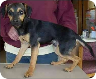 Shepherd (Unknown Type) Mix Puppy for adoption in North Judson, Indiana - MaGoo