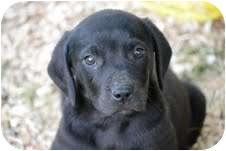 Hound (Unknown Type)/Labrador Retriever Mix Puppy for adoption in Foster, Rhode Island - Waylon