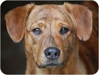 Boxer/Labrador Retriever Mix Dog for adoption in Hammonton, New Jersey - Hershey