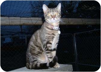 Domestic Shorthair Cat for adoption in Farmington, Arkansas - Kenta