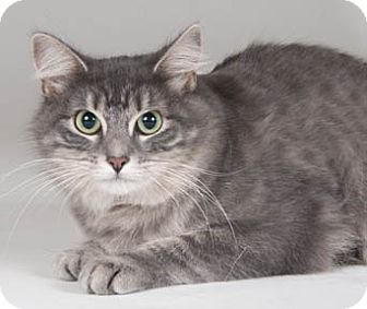 Domestic Mediumhair Cat for adoption in Chicago, Illinois - Eden