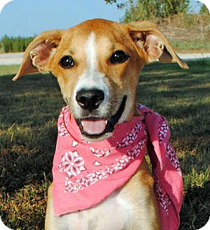 Hound (Unknown Type)/Labrador Retriever Mix Dog for adoption in Gonzales, Texas - Sonya