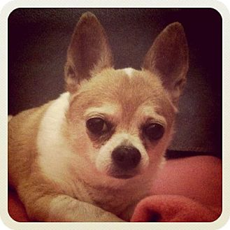 Chihuahua Mix Dog for adoption in Long Beach, New York - Blue Boy