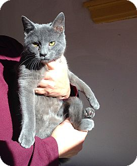 Russian Blue Kitten for adoption in Cincinnati, Ohio - Big Al: Covedale