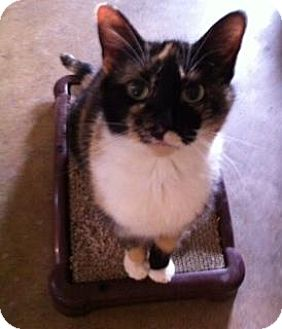 Domestic Shorthair Cat for adoption in Wilmington, Illinois - Molly