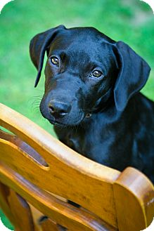 Labrador Retriever/Weimaraner Mix Puppy for adoption in Bradenton, Florida - Zara
