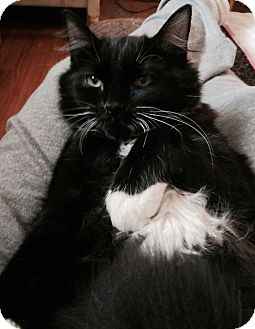 Domestic Longhair Cat for adoption in Bloomfield, Connecticut - Black Kitty