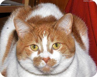 Domestic Shorthair Cat for adoption in Medina, Ohio - Simba
