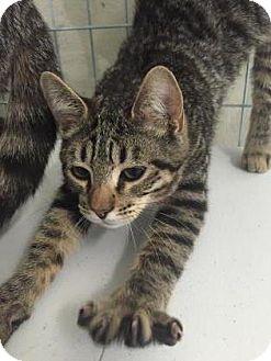 Domestic Shorthair Kitten for adoption in Fountain Hills, Arizona - GUS