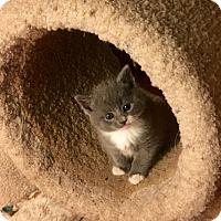 Adopt A Pet :: Bonnie Blue - Southington, CT