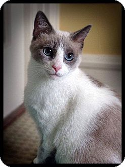 Siamese Cat for adoption in Earl, North Carolina - Gloria