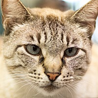 Siamese Cat for adoption in Houston, Texas - MONTGOMERY
