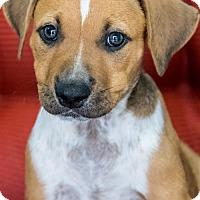 Adopt A Pet :: Little Weasley - Miami, FL