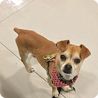 Adopt A Pet :: ZEUS-LITTLE PUG+WELL-BEHAVED! - Los Angeles, CA