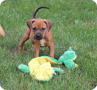 Labrador Retriever/Boxer Mix Puppy for adoption in Bedford Hills, New York - Snickers